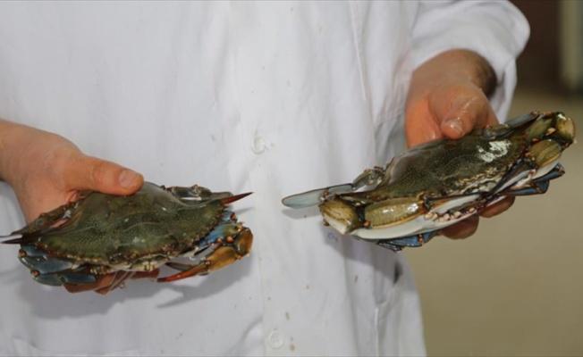Akdeniz ve Ege'ye özgü balık türleri Karadeniz'de