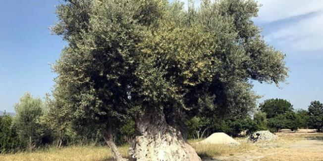 İşte Erdoğan'ın bahsettiği o ağaç! Tam 1300 yaşında